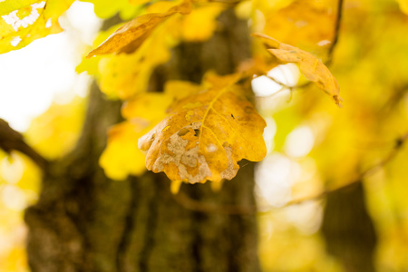 yellow oak leaves in the fall on nature