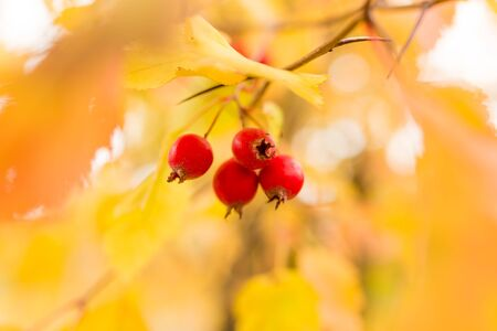 red berry hawthorn on nature in autumn