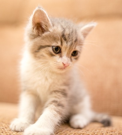 portrait of a small kitten in the house
