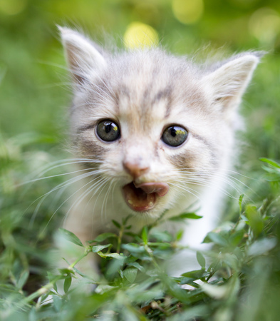 babies: little kitten is walking in green grass outdoors .