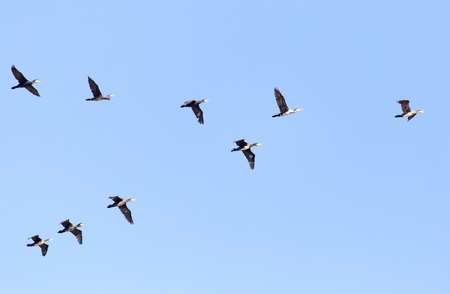 a flock of birds flying south in the blue sky . Banco de Imagens