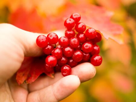red viburnum in a hand on nature in autumn .