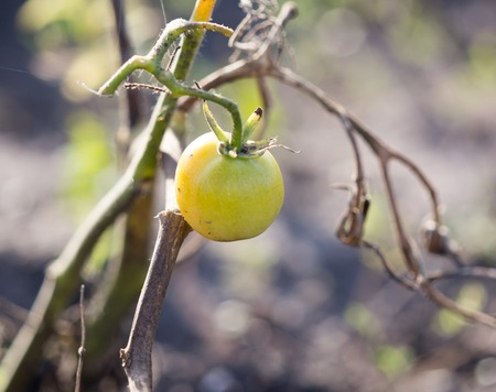 sick tomato in the garden in nature .