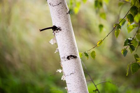white trunks of a birch on the nature .