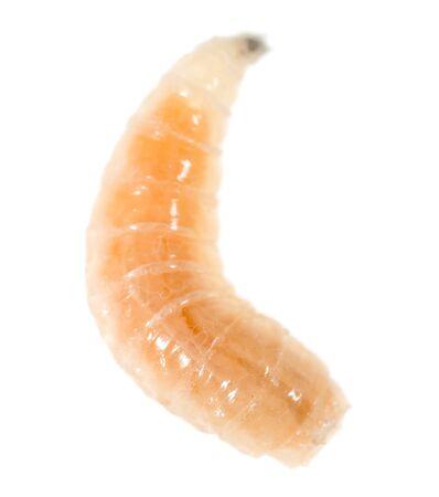 흰색 배경에 구 더 기의 벌레입니다.