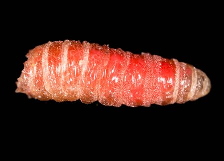 worm of maggots on a black background .