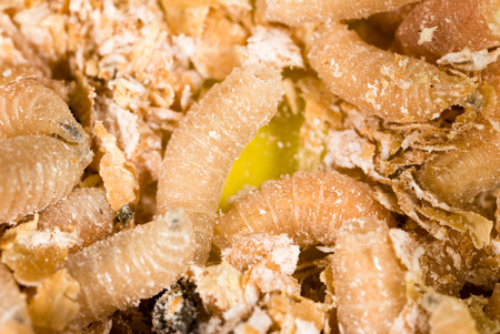 worms of maggots for fishing in sawdust Stock Photo