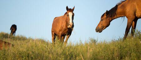 cavalli al pascolo al tramonto nella natura