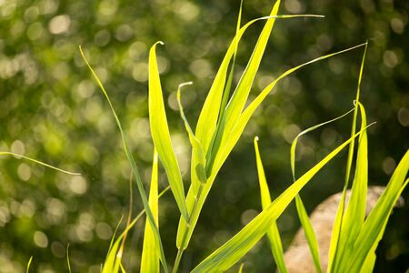 common reed: Green leaves of bulrush on nature as background .