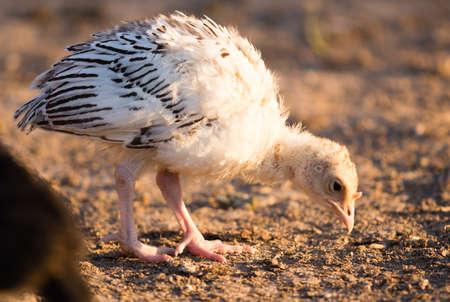 pequenas galinhas de peru pastam na fazenda. Imagens
