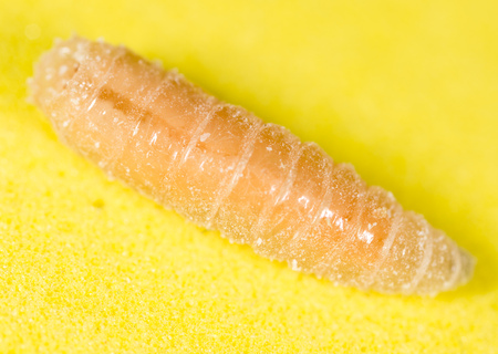 worm of maggots on a yellow background .