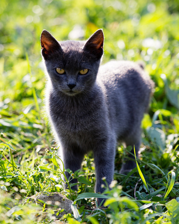 o gato anda na grama na natureza