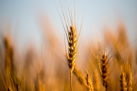 yellow ears of wheat at sunset in nature .