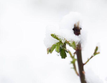snow on tree leaves in spring .