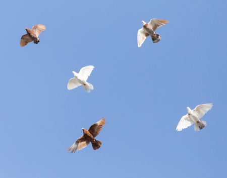 a flock of pigeons in the blue sky . Stock Photo