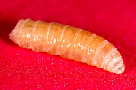 worm of maggots on a red background .