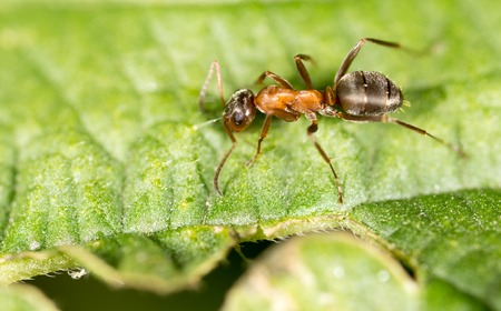 The ant on the green leaf in nature .