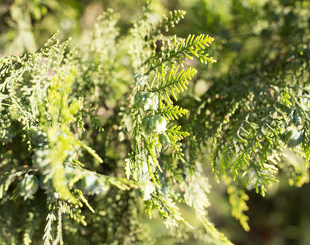 Beautiful branch of a thuja on nature