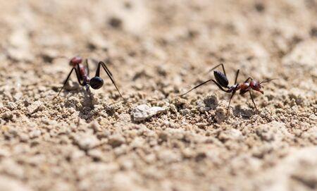 Ant on dry ground. macro