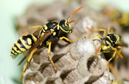 A wasp for hives in nature Stock Photo