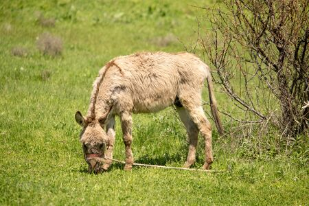 Donkey in the pasture in the spring . 版權商用圖片