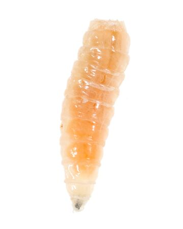 worm of maggots on a white background . Banque d'images