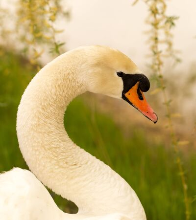 Beautiful white swan on nature in spring .