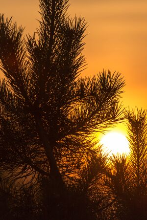 Branches of a coniferous tree at sunset .