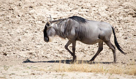 Antelope wildebeest in a deserted wildlife park Stock Photo