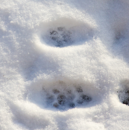 Footprints from the paws of the beast on the snow as a background
