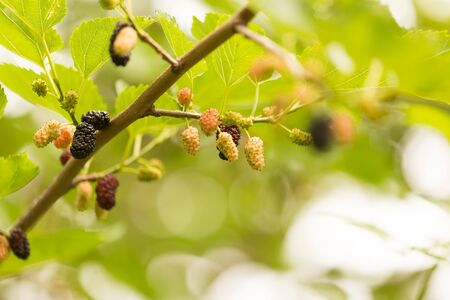 Mulberry berries on a tree in the nature . Stok Fotoğraf