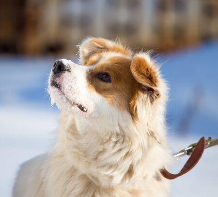 Portrait of a dog in nature in winter . Stock Photo