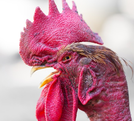 Rooster with a bare neck on the farm . Stock Photo