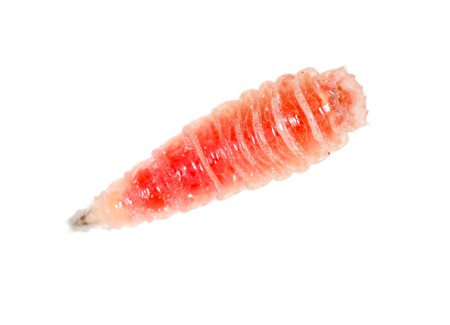 red worm of maggots on a white background .