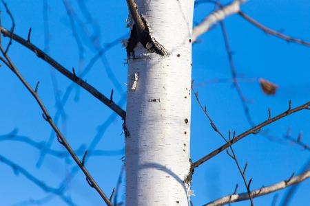 Trunk of a birch against a blue sky .