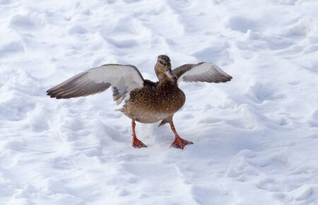 Duck flying against white snow in winter . Stock Photo