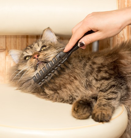Maine Coon cat combing hair in the house Stock Photo