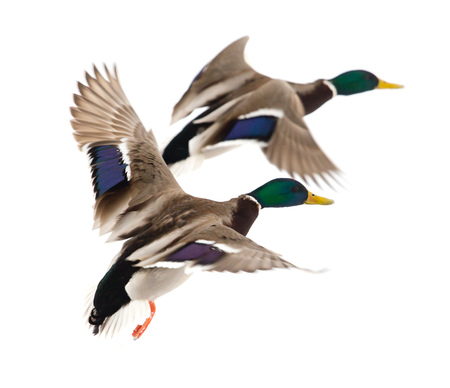 Duck in flight on a white background .