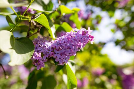 Lilac flowers on a tree in spring