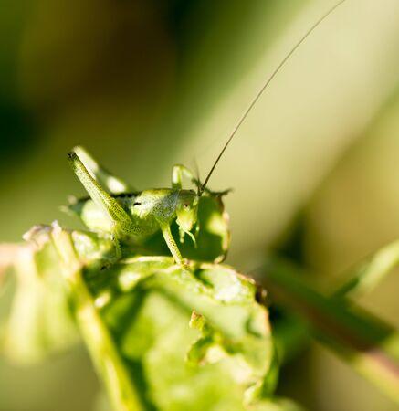 Grasshopper in green grass on nature