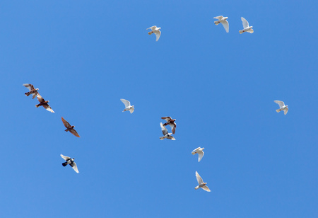 A flock of pigeons are flying in the blue sky .