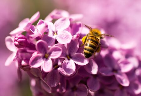 The bee flies on the flowers of the lilac . Stock Photo
