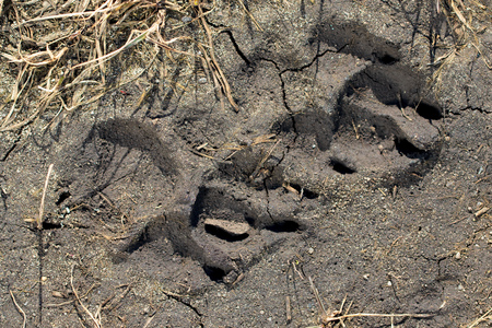 Trace from a dog on clay soil . 스톡 콘텐츠 - 100523055