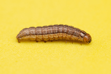 the caterpillar crawls on a yellow background .