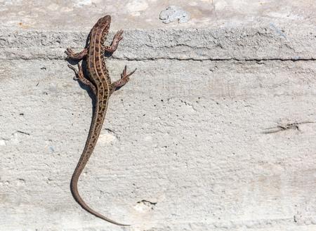The lizard sits on a concrete wall . 版權商用圖片
