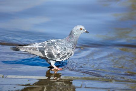 Pigeon drinks water in the lake in the open air