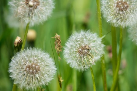 Fluffy dandelion in a park in the nature . Stock Photo