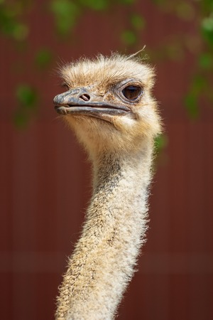 Portrait of an ostrich at the zoo . Фото со стока