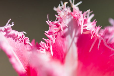 Pink tulip flower with decorative petals on the nature