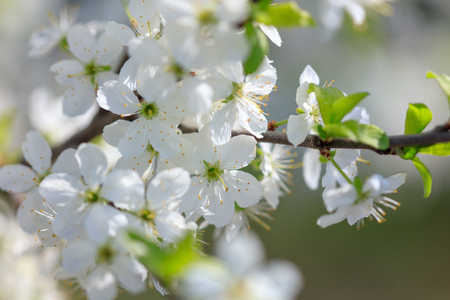 Flowers on the branches of a tree in the nature .